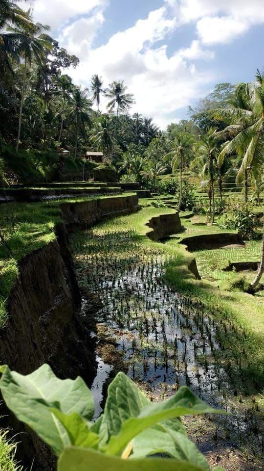 Les rizières de Tegalalang